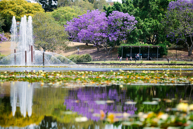 Images of University of Queensland and Gatton campus Jacaranda trees.